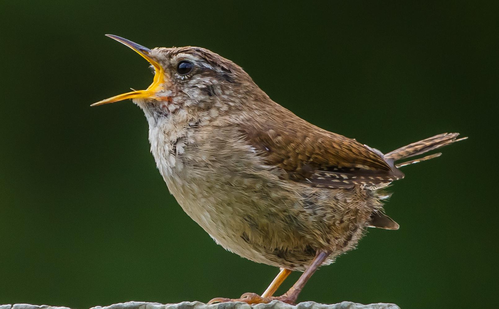 Participate | Female Bird Song